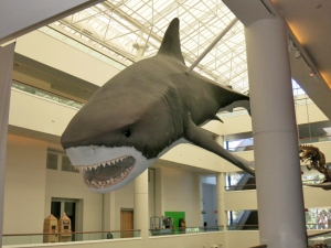 Giant Great White hanging in the center of the museum.